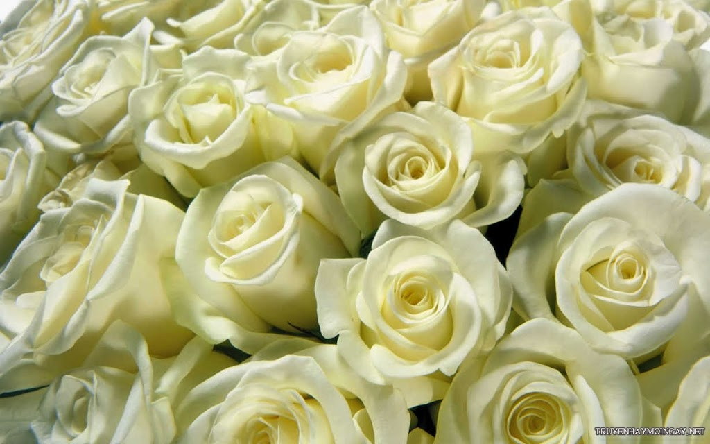 Hình ảnh hoa hồng trắng đẹp lãng mạn