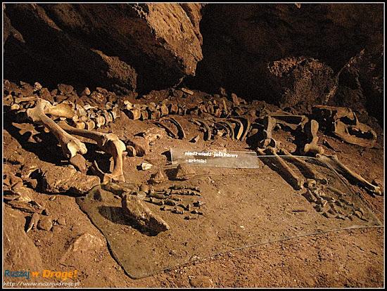 jaskinia niedźwiedzia - szczątki niedźwiedzia jaskiniowego