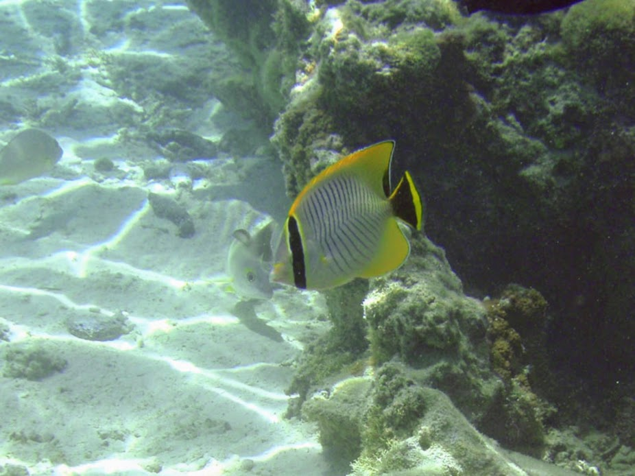 Chaetodon trifascialis (Chevron Butterflyfish), Aitutaki.
