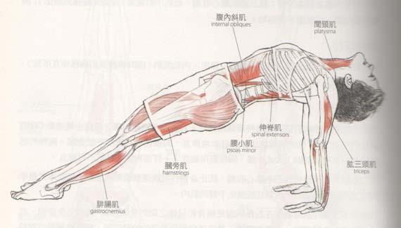 反向棒式肌肉運作的區域