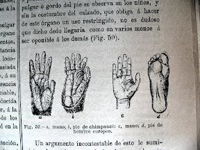 Comparación de manos y pies de chimpancé con un hombre europeo.