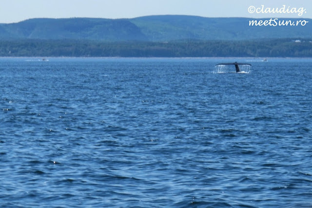 Balena albastra in St Lawrence - whale-watching