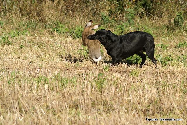 labradorinnoutaja rusakko jänisjahti