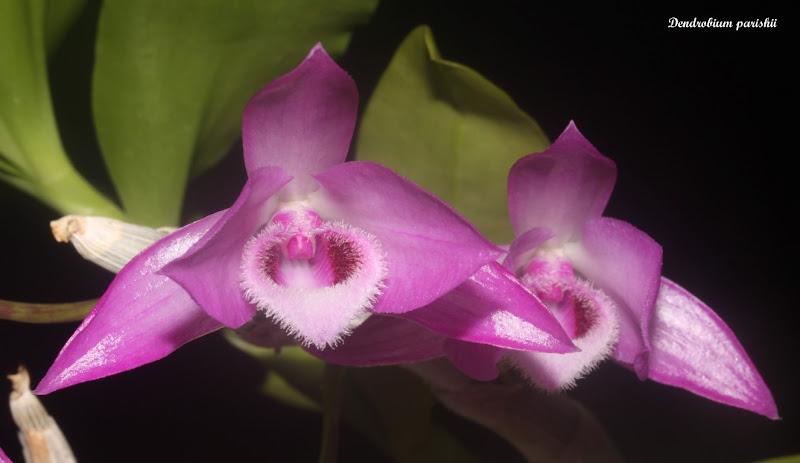 Dendrobium parishii IMG_6057b%2520%2528Medium%2529