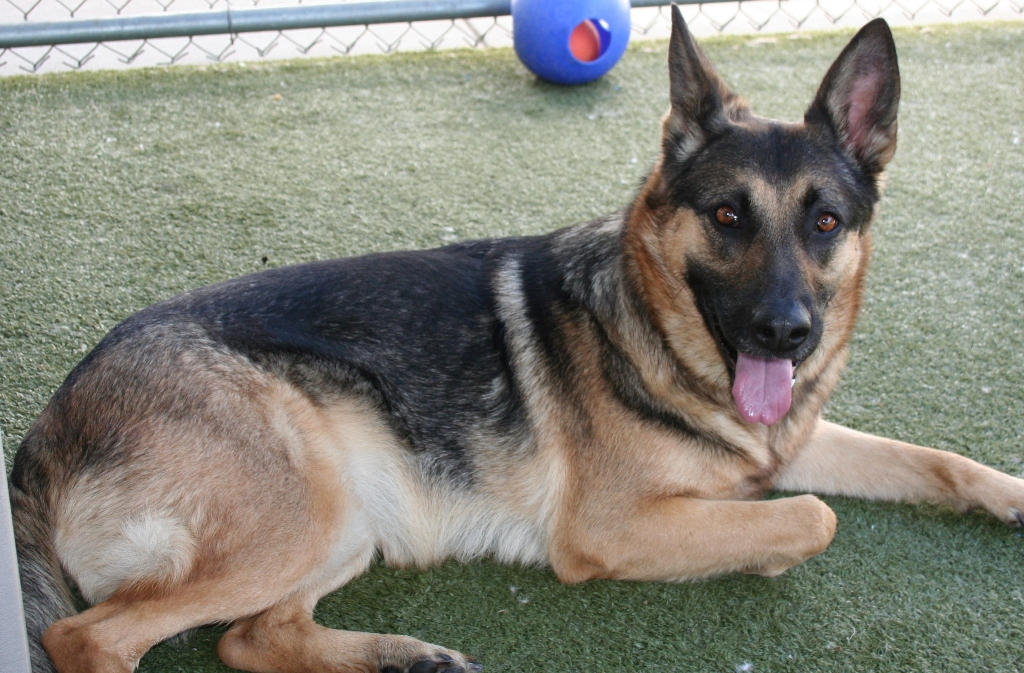 a black and tan german shepherd with her tonue out as she lays on the astro turf
