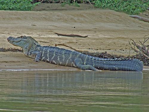 Questões e Fatos sobre Crocodilianos gigantes: Transferência de debate da comunidade Conflitos Selvagens.  - Página 3 12547