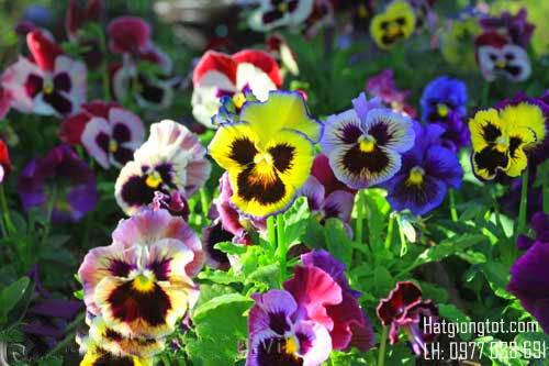 Hạt hoa bướm viola