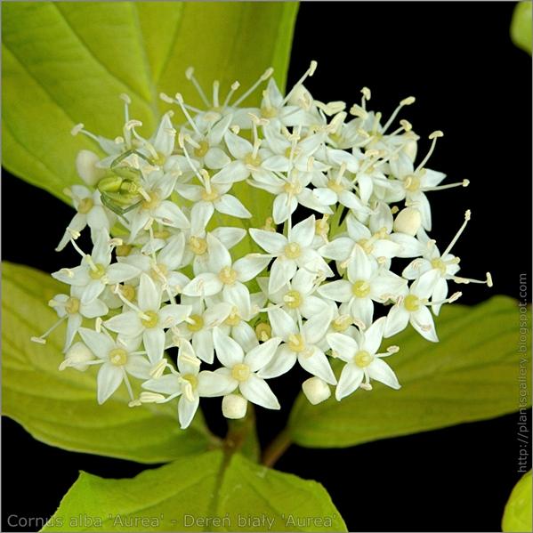Cornus alba 'Aurea' flower - Dereń biały kwiaty