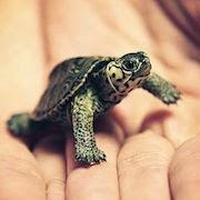 К чему снится маленькая черепаха?
