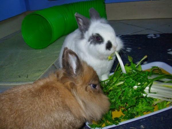 [adoptée] Sweety, lapin nain Berny_et_Sweety5-6fa7c