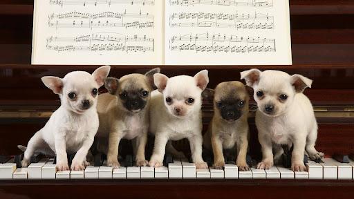 A Chihuahua Concerto.jpg