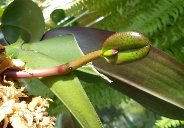Странности и интересности наших орхидей - Страница 5 DSCN3058