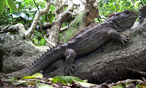 Due To The Fact That There Are Few Real Predators In New Zealand Tuatara Has No Native However Since Introduction Of Cats Foxes