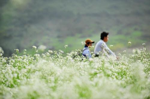 296 Mộc Châu đẹp tinh khôi mùa cải trắng
