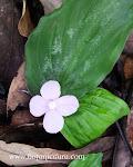 Kaempferia pulchra