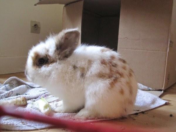 Shota, lapin blanc et marron-[adopté] Shota2-2-64ae9