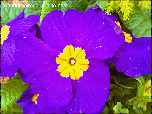 Blue%20Primrose%20Picture%20Macro%20at%20Wonderweirded%20Wildlife%20Blog%20