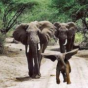 К чему снятся слоны?