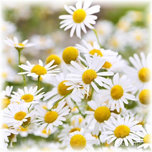 chamomile flowers Chamomile (Bunga Matahari Jerman)