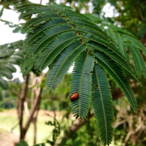 A bugs life in Pedu