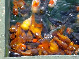 121020金魚展示場