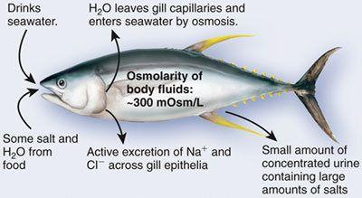 adaptasi ikan air laut Sistem Ekskresi (2): Sistem ekskresi pada Vertebrata