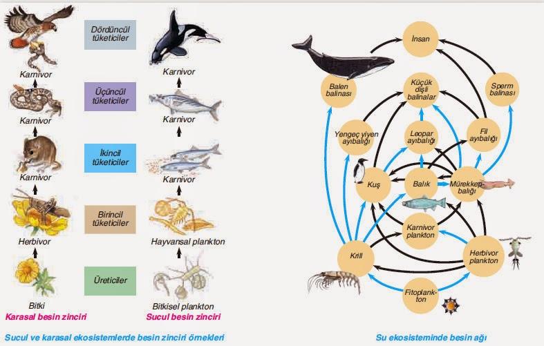su ekosistemi besin ağı