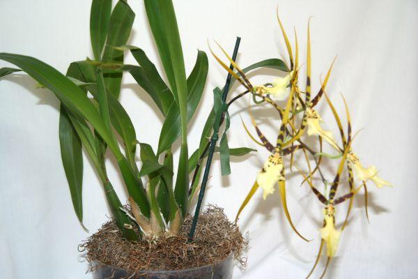 Растения из Тюмени. Краткий обзор Brassia1