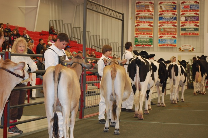 Highschoolers parade their cows in the hopes to win a showmanship title