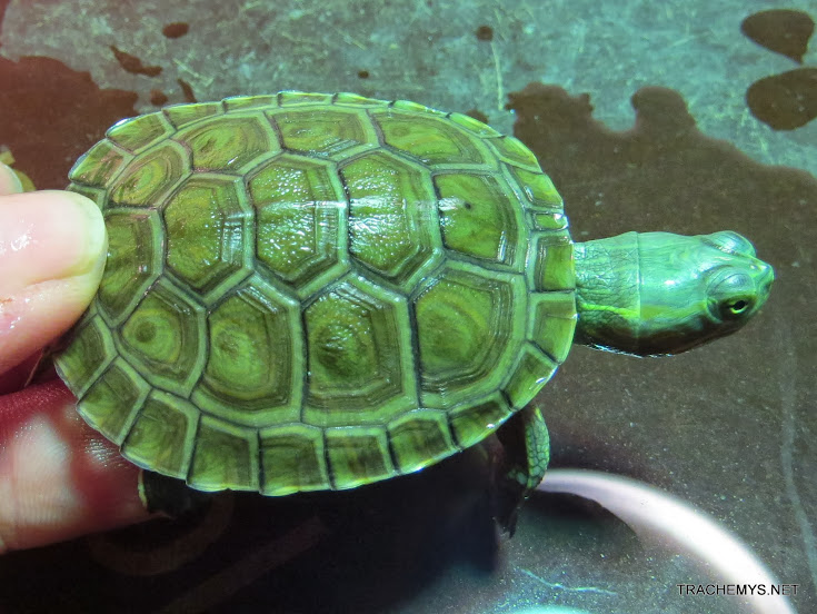 mes tortues (BK) - Page 12 IMG_4450