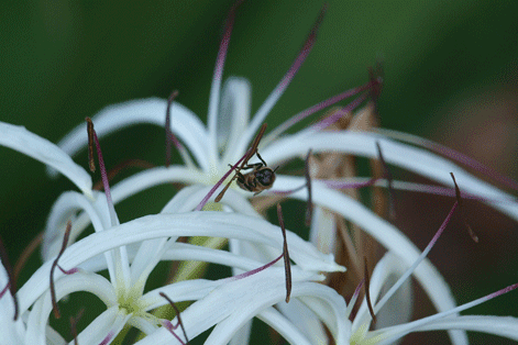 White Crinum Lily and Busy Bee