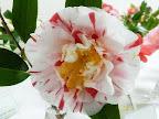 白色地 大小の紅縦絞り 紅や桃地の白覆輪などが咲き分ける 八重〜牡丹咲き 割りしべ 大輪