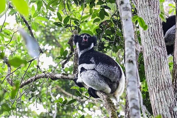 Indri Lemur, Madagascar