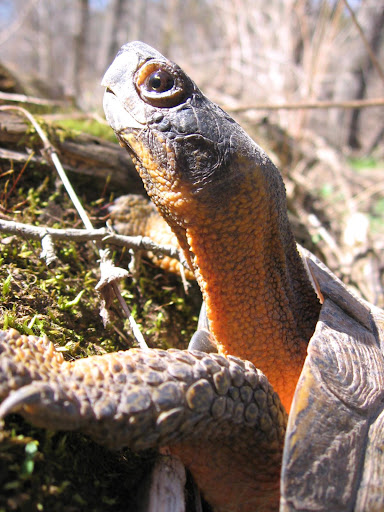 A Wood Turtle Close-up