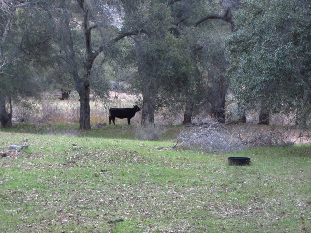 cow hanging out on the ranch