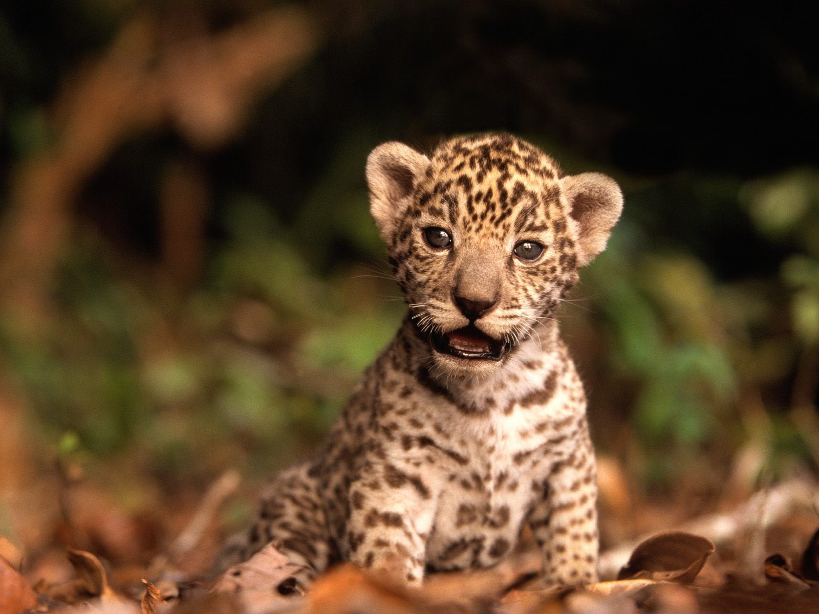 Rainforest Baby Jaguar | Gallery