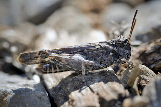 Para ampliar Acrotylus fischeri (Saltamontes de alas rojas) hacer clic