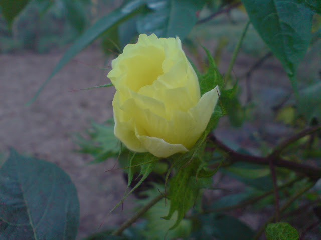 Bunga Kapas
