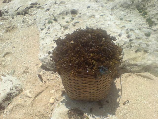 Pantai Watu Lawang : Rumput Laut