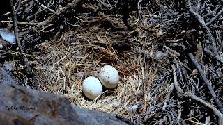 nido de aguilucho comun
