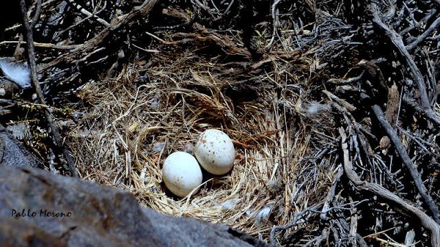 """alt=""""nido de aguilucho comun,Geranoaetus polyosoma,aves de Mendoza,rapaces de Mendoza"""""""