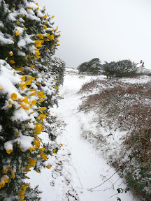 The gorse still in flower no matter what the weather, season or temperature