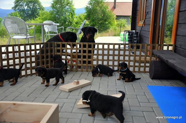 Szczenięta na dworze w domowej hodowli rottweilerów