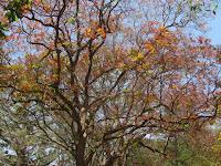 https://lh5.googleusercontent.com/-p23wx7QETEg/T2_wcEGVXEI/AAAAAAAAABg/mQLLxg4RNf0/s1600/Kusum+Tree+-+Canopy.jpg