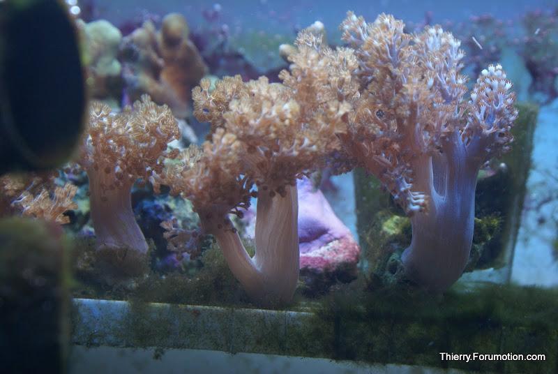 Capnella imbricata (Kenya Tree Coral) DSC04874
