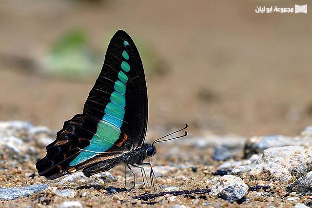 اجمل ملكة جمال الحشرات ؟؟؟؟ D%2520%252818%2529
