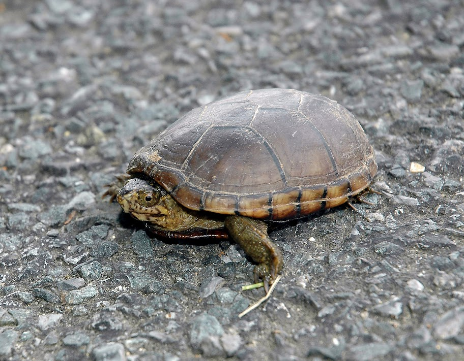 Maryland Biodiversity Project - Eastern Mud Turtle (Kinosternon ...