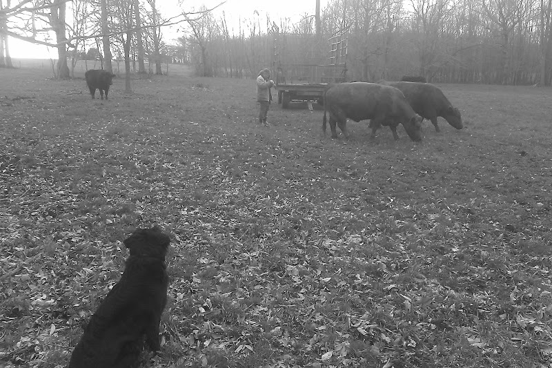 Our dog watching over the cows!