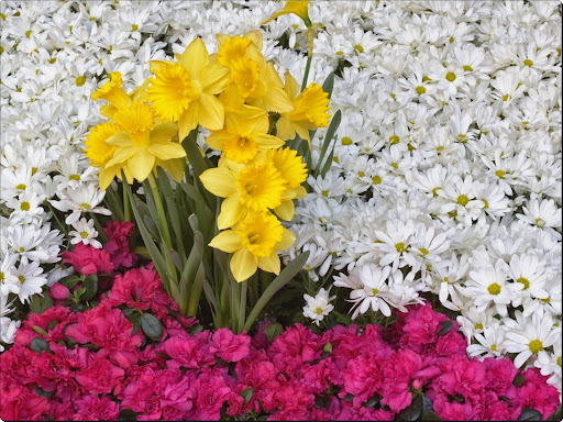 Brighton Narcissus and Daisy Flowers.jpg