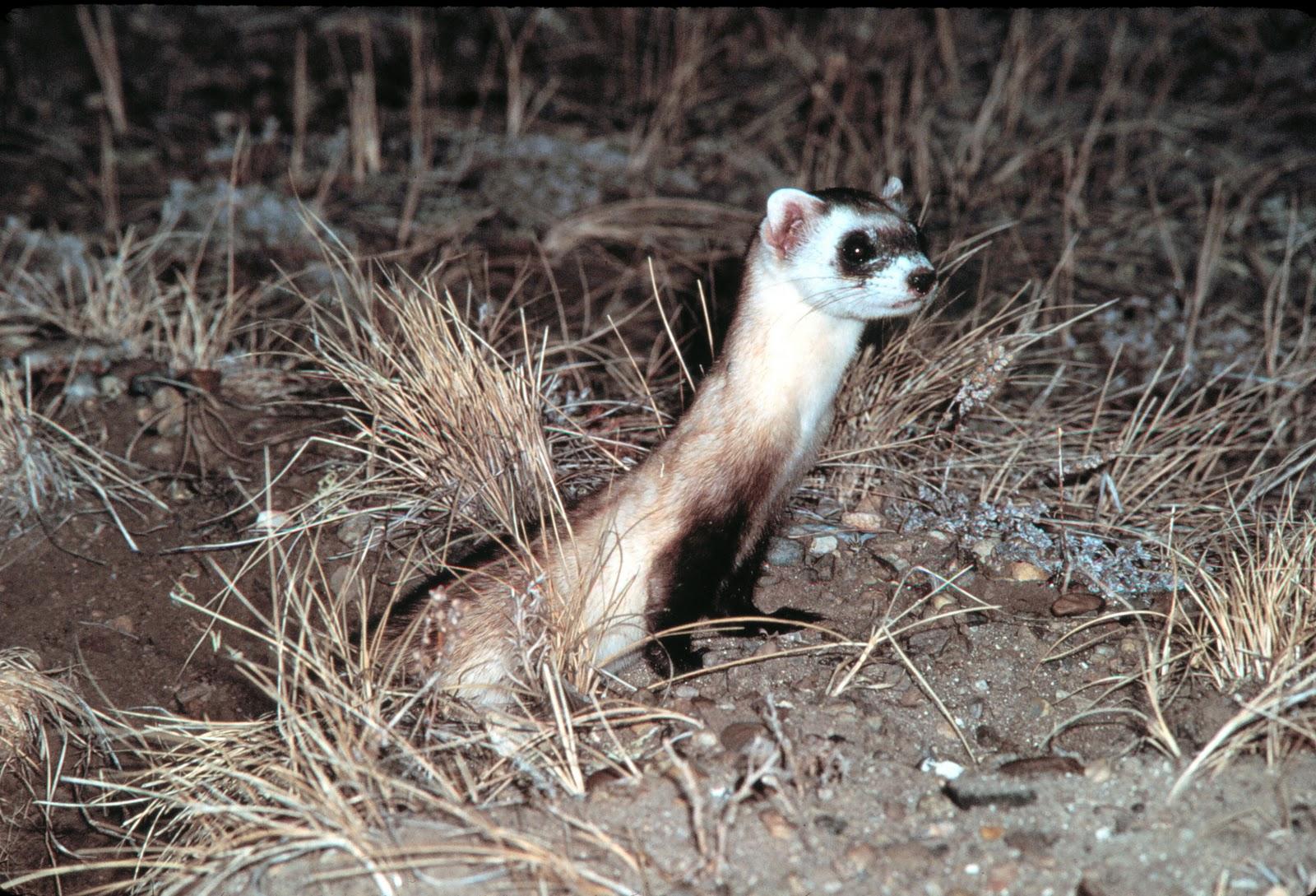animals pictures  ferret